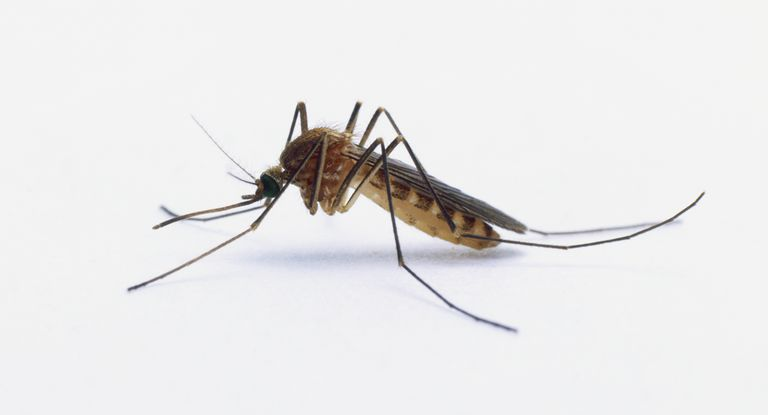 Gene Editing To Wipe Out Entire Mosquito Populations