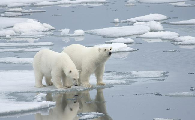 Ancient Polar Bears Survived Periods of Low Ice By Feeding On Dead Whales