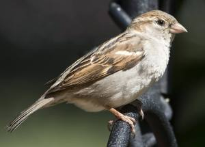 Global Warming Is Threatening Sparrow Species Around The World