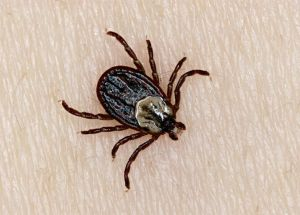 Niagara Region Reports Increase Of Lyme Disease-Carrying Ticks