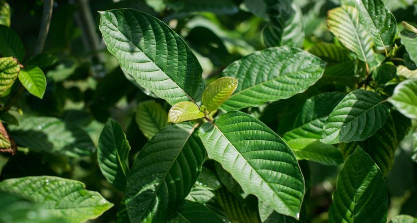Kratom Is Unsafe For People's Health, A New Study Concluded