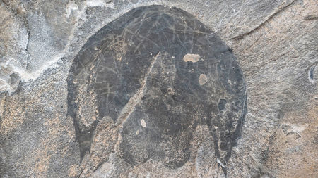 An Ancient Sea Creature Looked Like the Millennium Falcon