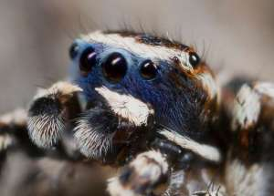 Male Spiders Are Revealing Their Sensitive Side