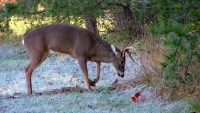 Health Warning Is Raised for Humans from Ill Deers Turning into Zombies