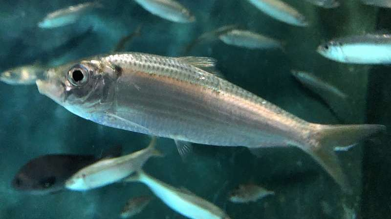 Female Fish Can Breed Outside Their Own Species, They Just Don't Need to Be That Picky