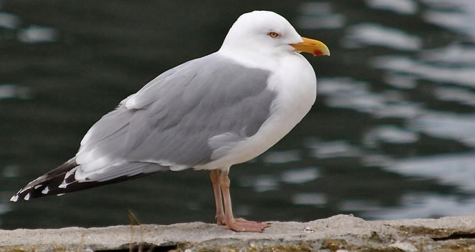 The Herring Gull Is Using Humans to Choose Its Food