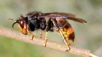 Asian Hornets Take Control of America – Is There Something We Can Do?