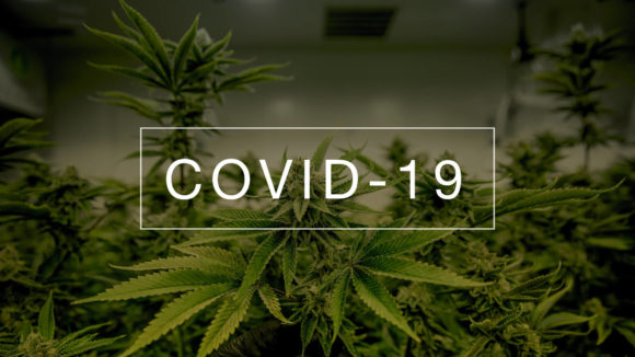 Could Cannabis Prevent COVID-19? Preliminary Study Answers