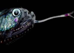 The Darkest Animals Out There Discovered at the Bottom of the Ocean