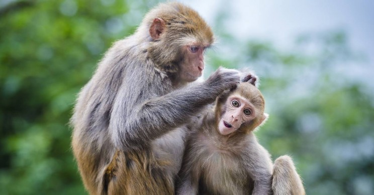 Have These Monkeys Become Smarter After Receiving Human Genes?