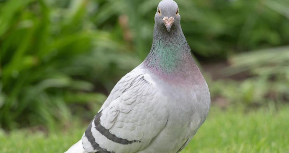Pigeon repellents and other effective solutions