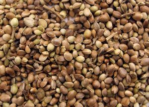Getting to know Marijuana Seeds: what it entails?