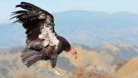 Endangered California Bird Returns to the Skies After 100 Years