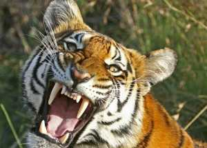 The Case of a Woman Killed by Tiger at Zoo on July 4th Finally Has an Explanation
