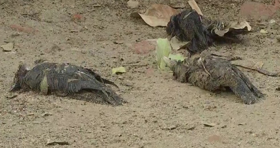 Wildlife Officials Are Puzzled by Finding Sick and Dying Birds in Several American States