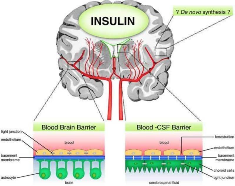 function of insulin in the human body