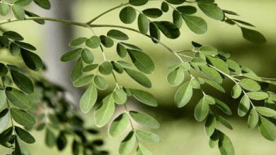 Photo of ماذا تعرف عن اهم فوائد شجرة المور ينجا؟