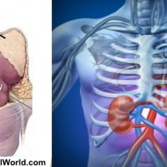 Diagram Of Where Kidneys Are Hh Trailer Wiring Your Located Kidney Pain Is Felt