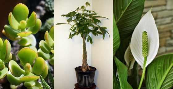 Lucky Indoor Plants