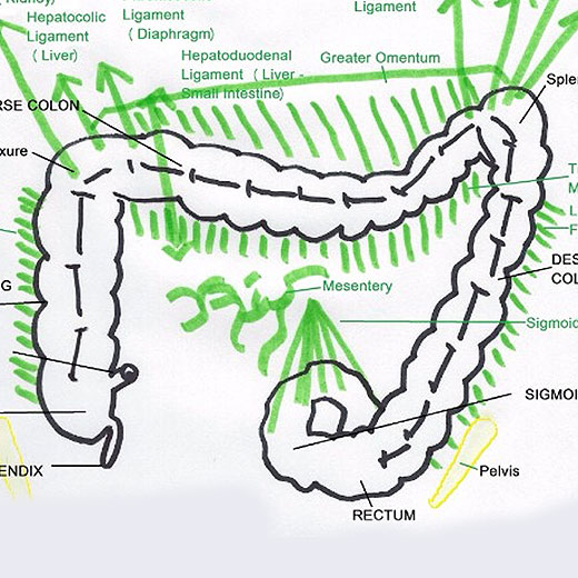 The Colon This Overlooked Organ is Causing You More Trouble Than You Think  Healthy By Nature
