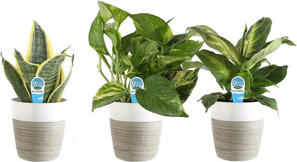 Clean Air House Plants