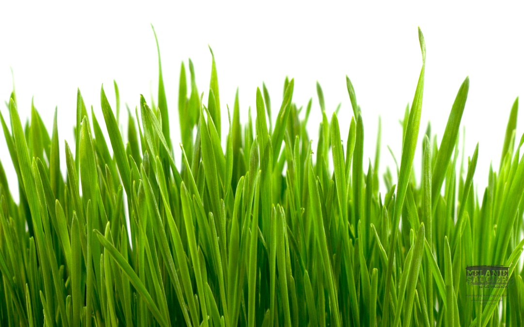 Wheatgrass Facts – An In Depth Report