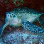 green-sea-turtle-79945_640