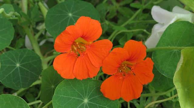 Nasturtium flowers, sweet, pungent and peppery