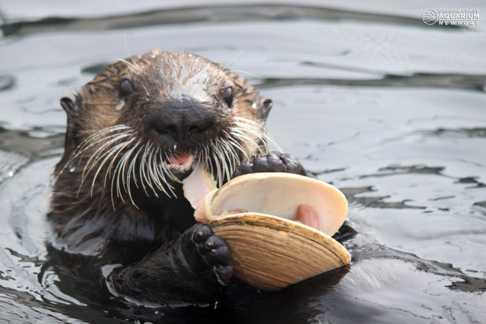 OregonAquariumOswald the sea otter pup with a butter clam at the Oregon Coast Aquarium - Credit Brent McWhirter
