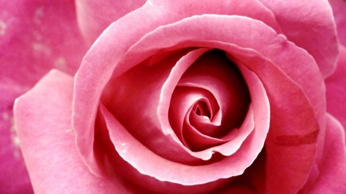 beautiful_pink_rose 1920 x 1080
