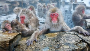 Hot Springs Lower Stress for Japan's Popular Bathing Monkeys