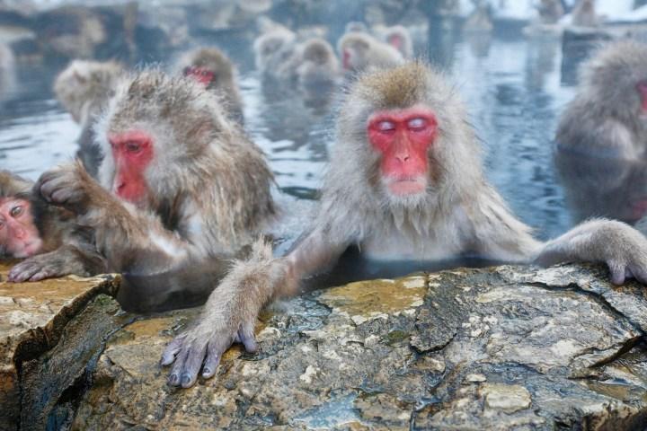 Hot Springs Lower Stress for Japan's Popular Bathing Monkeys