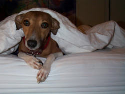 Picture of Dog in Bed