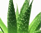 Aloe Vera Plant Picture