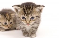 Kittens Meowing