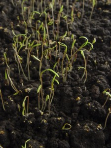 Fresh Sprouts Growing