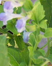 Skullcap Herb is a Natural Anti-inflammatory and Joint Pain