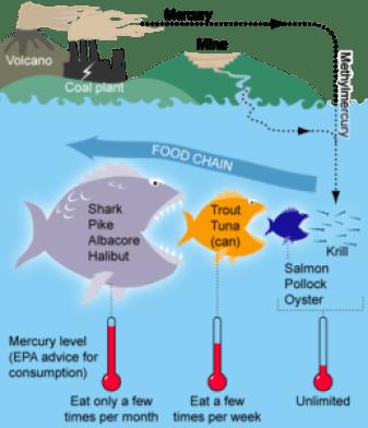 Fish food chain and mercury
