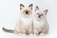 Cat Facts: Ragdoll Cats