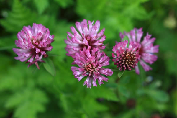 red-clover-new