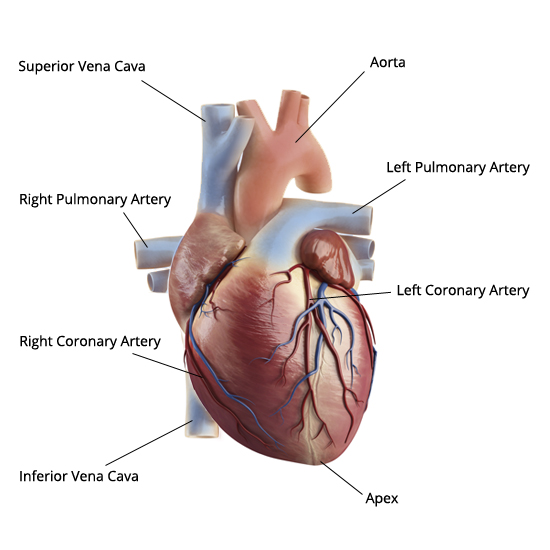 anatomical heart diagram for all parts mast on sailboat diagrams of failure online anatomy the external