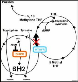 Mutatia MTHFR de tip A1298C