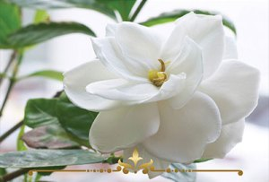 Gardenia Lily Scented Candles