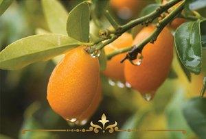 Kumquat Pie Scented Candles