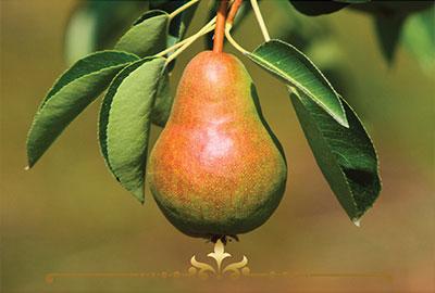 Pear Class