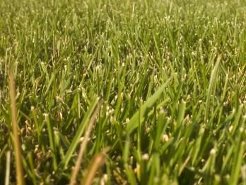 Closeup of lawn grass.