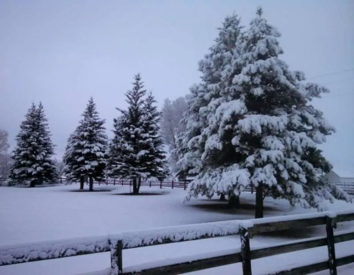 Pine tree covered in a blanket of snow.