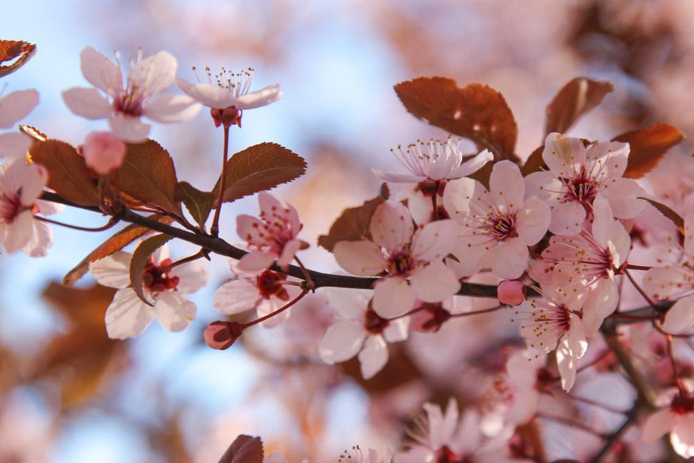 blossoms in Uzhhorod, Ukraine