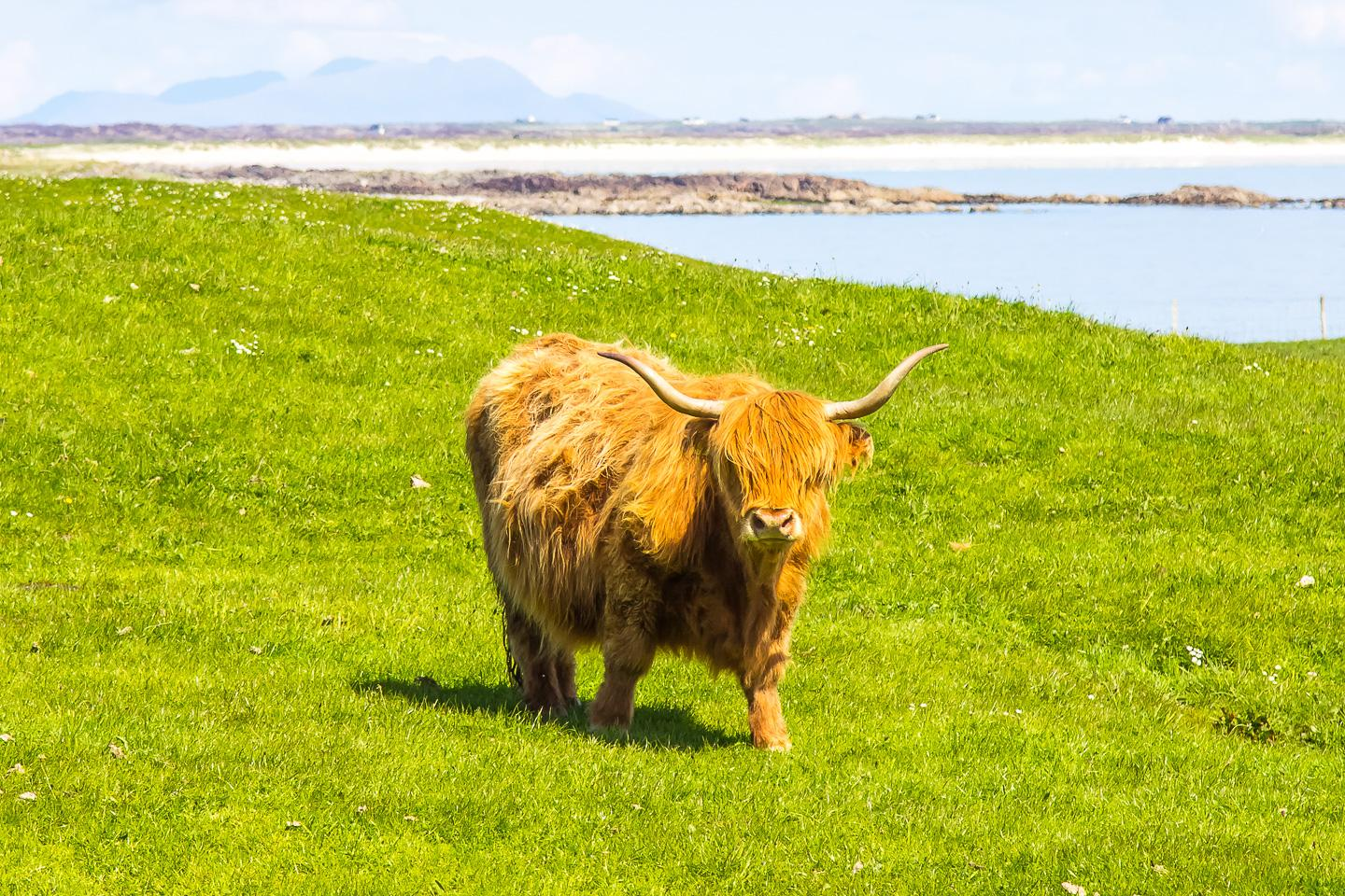highland cow tiree scotland