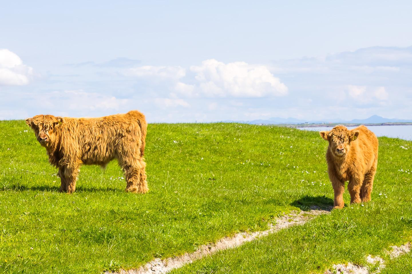 highland calf tiree scotland